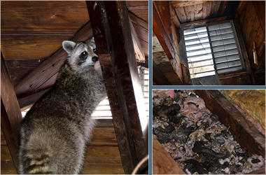 westchester raccoon control - attic contamination