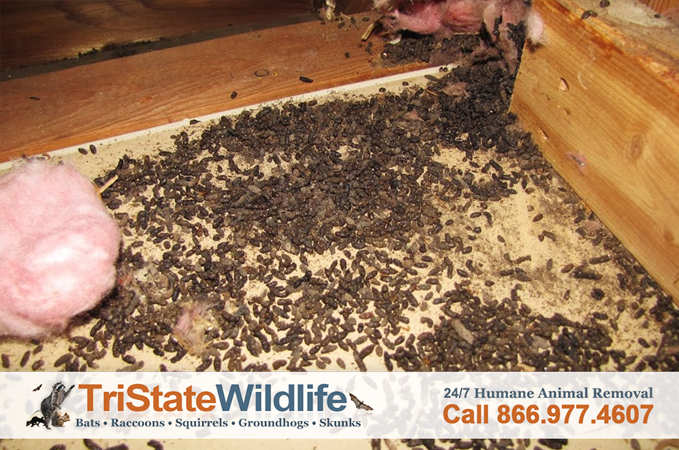 Bat Removal In Westchester Ny Tristate Wildlife Management
